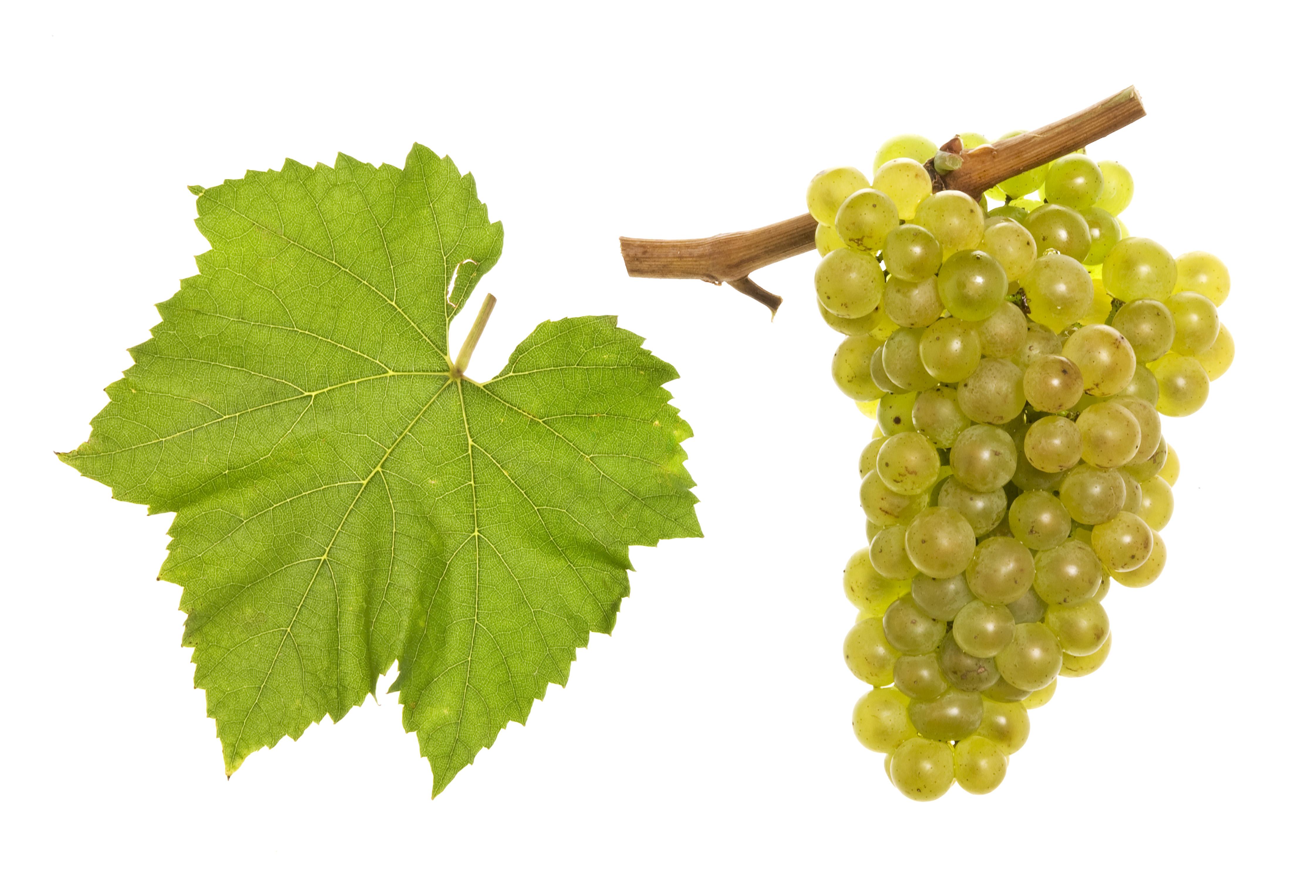 rebsorte weißwein kreuzworträtsel